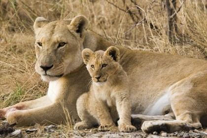 http://commons.wikimedia.org/wiki/File%3ALioness_and_cub.jpg